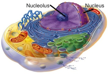 Fig.1. the nucleolus